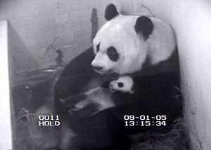 Video Capture: Tai Shan and Mei Xiang